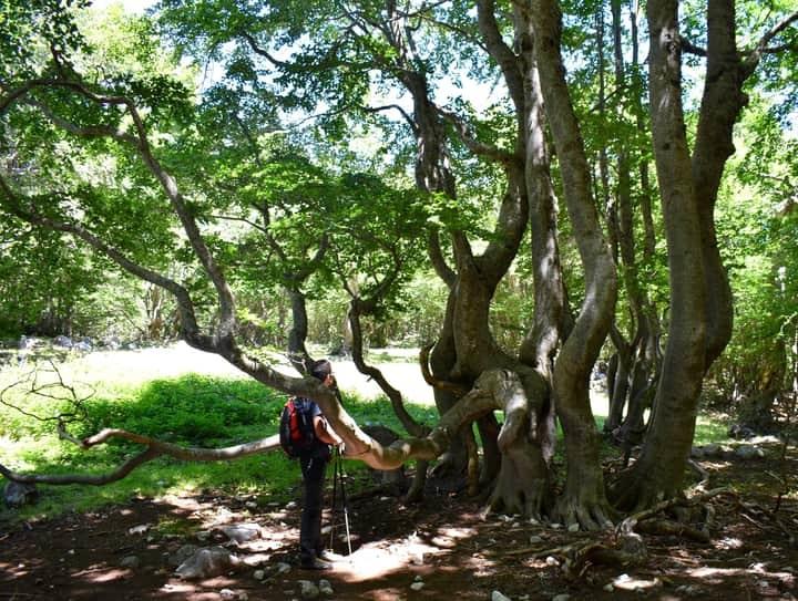 Parco del Pollino, gli alberi serpenti