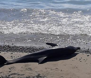 delfino ritrovato sulla battigia a villapiana lido